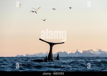 Ballenas asesinas / las orcas (Orcinus orca) revestimiento de buceo cerca de la ballena jorobada (Megaptera novaeangliae). Las dos especies se alimentan en la misma escuela de arenque. Andfjorden, cerca de Andoya, Nordland, norte de Noruega, en enero.
