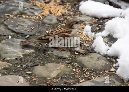 Gorrión (Passer domesticus).hembra adulta procedente de los alimentos en el invierno.El suroeste de Francia.