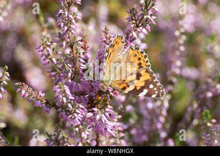 Painted Lady butterfly (Vanessa cardui), un insecto migratorio de larga distancia, por Heather en Surrey, Reino Unido.
