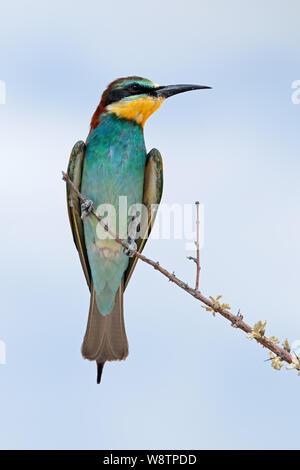 (Merops apiaster) posado sobre una rama, el Parque Nacional de Etosha, Namibia