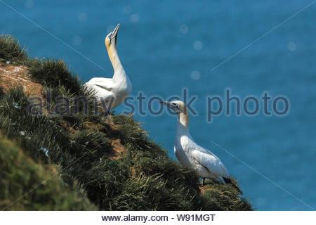 Gannett - Morus bassanus - advertencia de comportamiento skypointing vecinos se va a volar. Alcatraces aves son muy agresivas con daga como picos. Foto de stock
