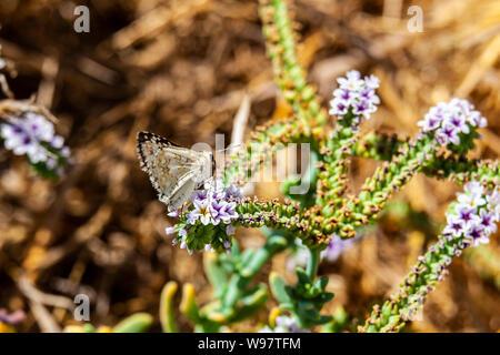 Mariposa Pyrgus Checkered-Skipper común (communis) en el Refugio Nacional de Vida Silvestre de San Luis en el Valle Central de California
