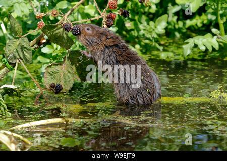 Unión agua o agua del Norte Vole Vole, Arvicola amphibius