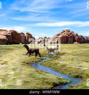 Alpacas, cerca de lindo y divertido camélido sudamericano mantuvo en rebaños que pastan en las alturas de la Cordillera de Los Andes de Bolivia