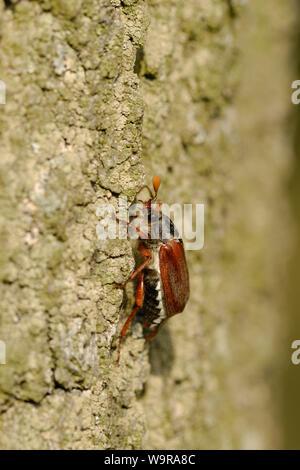 Cockchafer comunes sobre tronco de madera de roble , Melolontha melolontha