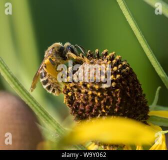 Oeste de las abejas (Apis mellifera) recogiendo polen en cono amarillo flores en Iowa la prairie