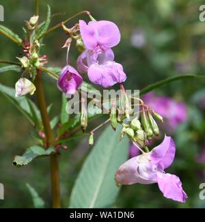 Flores, yemas y explosiva de las vainas del Himalayan Bálsamo (Impatiens glandulifera) Tonbridge, Kent, UK.