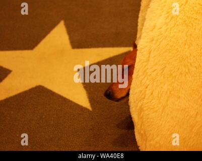 Lindo primer plano de un perro durmiente marrón envuelto en una manta cálida en una alfombra con un estampado de estrellas