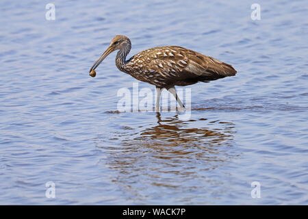 Limpkin (Aramus guarauna) vadeando en el agua con una concha en su pico