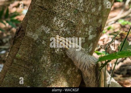 Cerca de la garra de un perezoso (Bradypus variegatus) en un árbol en el bosque atlántico, la isla de Itamaracá, estado de Pernambuco, Brasil
