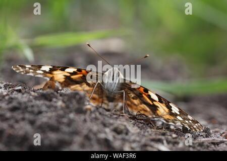 Painted Lady Butterfly regodearse en el suelo