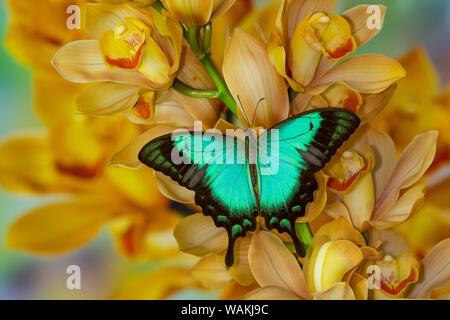 Especie asiática, Papilio larquinianus, mariposas en gran cymbidium Orquídea Dorada