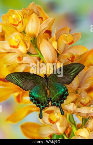 Macho especie asiática, mariposas Papilio bianor, en gran cymbidium Orquídea Dorada