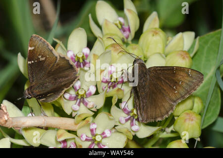 Cloudywing meridional, septentrional y bathyllus Thorybes Cloudywing Thorybes pylades, macho, de verde nectaring asclepias, Asclepias viridis Foto de stock