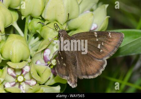 Confundido, Thorybes Cloudywing nectaring confusis, de verde, Asclepias asclepias viridis Foto de stock