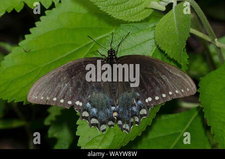 Especie Spicebush, Papilio Troilo, macho desgastada y hecha jirones, Foto de stock