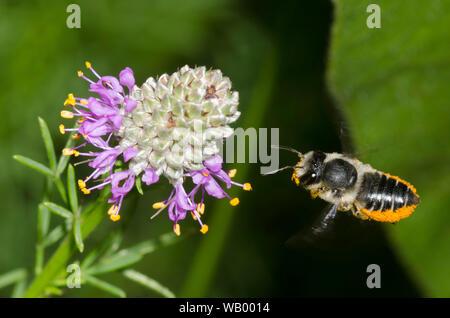 Flat-tailed abeja cortadora de hojas, Megachile mendica, flotando en vuelo cerca de la Pradera de trébol violeta, Dalea purpurea
