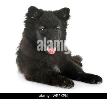 Puppy Finnish Lapphund delante de un fondo blanco