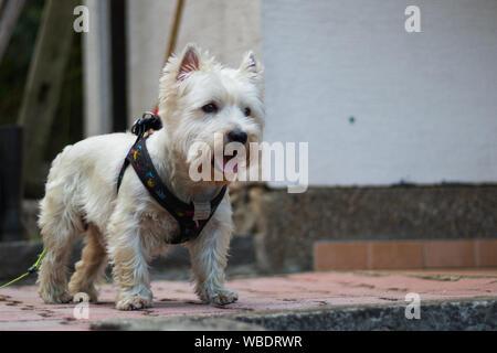 Westie blanco lindo Foto de stock
