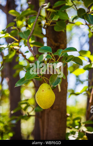 Pear pear colgando de un árbol en el interior de la Misión de San José de Tumacácori en Tumacácori National Historical Park.
