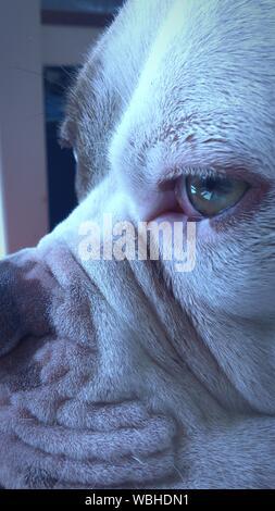 Close-up de bulldog americano