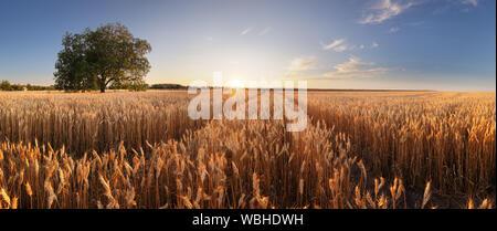 Campo de trigo. Espigas de trigo de oro de cerca. Hermosos paisajes rurales bajo el brillante sol y cielo azul. Antecedentes de la maduración espigas de trigo meadow f