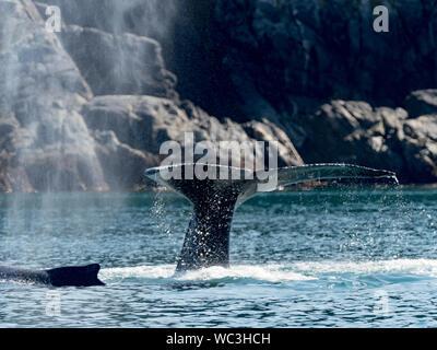 Las ballenas jorobadas Megaptera novaeangliae, buceo y mostrando sus aletas caudales o colas que pueden utilizarse para la identificación de las personas en el sureste de al.