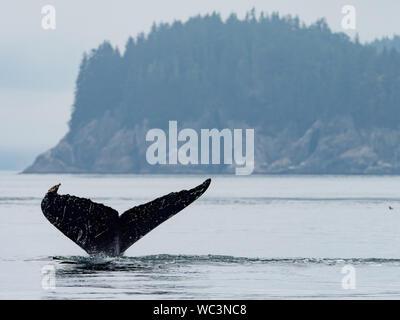 La ballena jorobada, Megaptera novaeangliae, buceo y mostrando su cola en el océano en el interior paso del sureste de Alaska