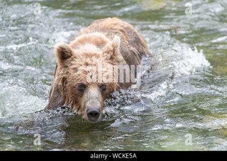 Grizzly Bear en el río Nakina caza de salmón, Ursus arctos horribilis, oso pardo, Norteamérica, Canadá,