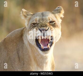 Close-up retrato de León rugiente en el Zoo Foto de stock