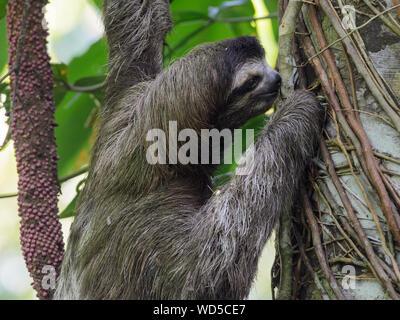Close-up de Sloth en tronco de árbol