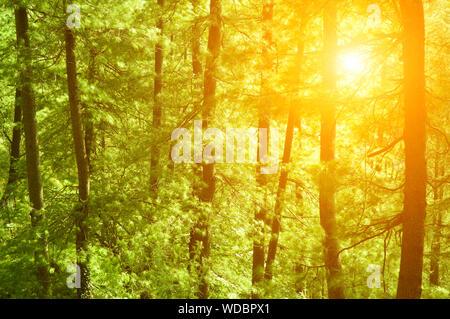 El sol brillaba a través de los árboles en el bosque Foto de stock