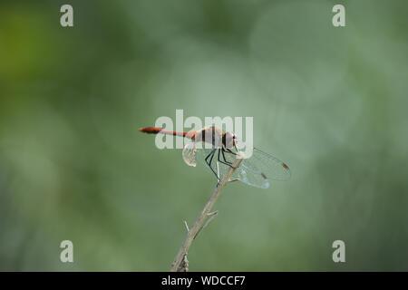 Dragonfly en planta de tallo