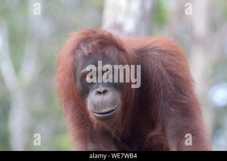 Indonesia, Borneo, el parque nacional Tanjung Puting, Bornean orangután (Pongo pygmaeus pygmaeus), adulto hembra sola