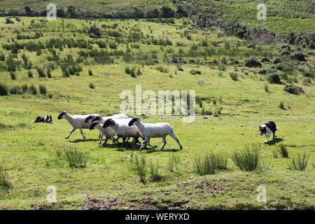 Perros pastoreando ovejas sobre césped