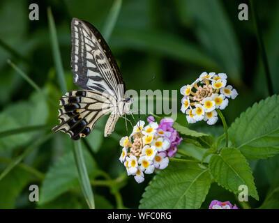 Una papilio xuthus butterfly, también llamado comúnmente una especie asiática, China, o Xuthus amarillo ESPECIE especie se alimenta de pequeños lantana flo