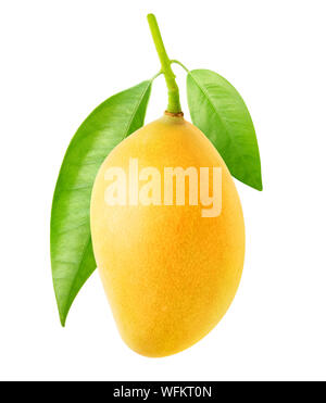 Mango aislado. Uno Amarillo mango fruto cuelga en la rama de un árbol con hojas aislado sobre fondo blanco con trazado de recorte Foto de stock