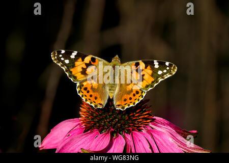 Painted Lady butterfly, uno de los embajadores de otoño.