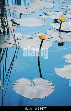 Un alto ángulo de vista de amarillo nenúfares floreciendo en el lago