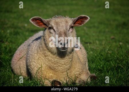 Retrato de ovejas descansando sobre el césped