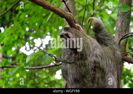 Close-up de Sloth escalada en árboles