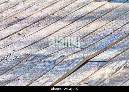 Cerca de lagartija sobre madera