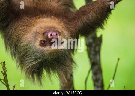 Close-up de Hoffman dos dedos cada Sloth en árboles