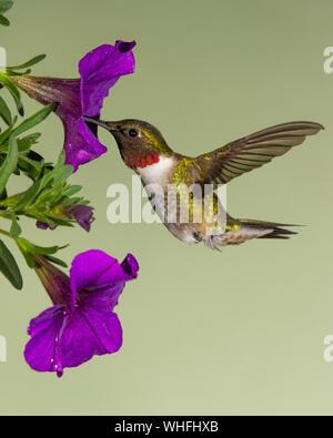 Rubí-throated hummingbird recogiendo néctar de una petunia.