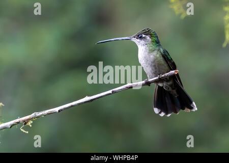Hembra picaflor de Talamanca (Eugenes spectabilis) en el bosque nuboso de Costa Rica
