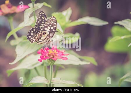 Cierre mariposa polinizando en Zinnia