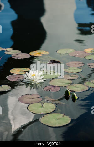 White Water Lily nadando en un pequeño estanque artificial, el enfoque selectivo.