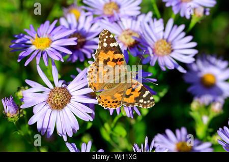 Painted Lady butterfly, Vanessa cardui, alimentándose de Nueva York Masters, Symphyotrichum novi-belgii en un día de otoño en Finlandia. Dof superficial.