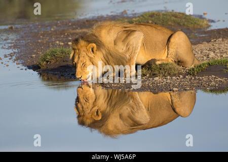 León Africano (Panthera leo) macho bebiendo en Ndutu river, el Área de Conservación de Ngorongoro, en el sur de Serengeti, Tanzania.