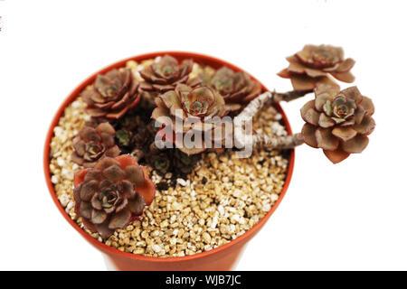 Close-up de macetas con plantas suculentas sobre fondo blanco.